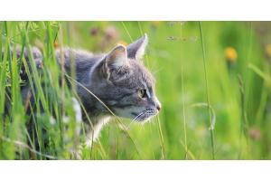 Faut-il laisser son chat sortir en extérieur ou l'éduquer pour vivre en intérieur ?