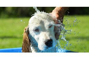 Protéger les chiens de la chaleur en été