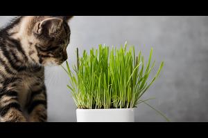 Quels sont les bienfaits de l'herbe à chat