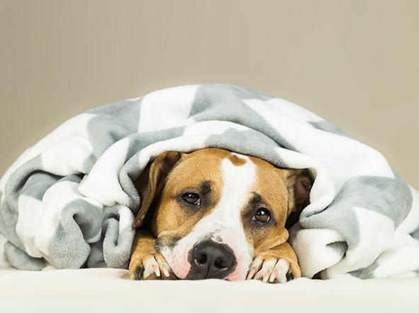 Intoxication du chien après consommation d'aliments toxiques