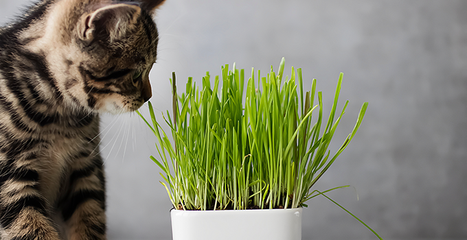 Quels sont les bienfaits de l'herbe à chat ?