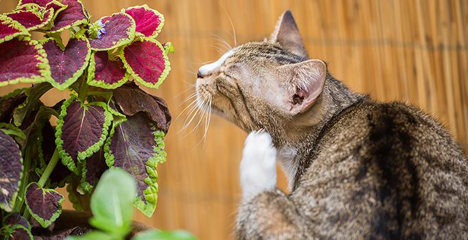 Le chat se gratte à cause des puces ou tiques